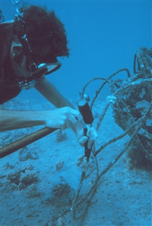 Small coral colonies were collected on pipe surfaces of know age to determine growth rate of corals on the artificial reef.