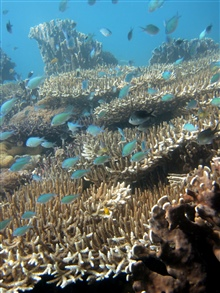 Reef scene with blue/green chromis - Chromis viridis