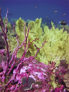 Red dead coral bush - greenish gorgonian coral.