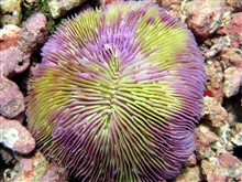 A purple and green mushroom coral.