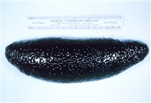 Holothurian( Sea cucumber) , Holothuria atra, whole organism.