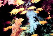 School of yellow fish in forest of soft coral