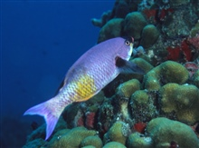 Creole wrasse (Clepticus parrai)