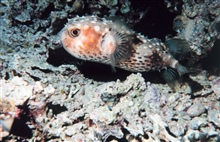 Yellowspotted burrfish (Cyclichthys spilostylus)