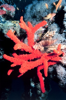 Lionfish on red sponge