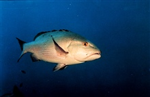 Two-spot red snapper (Lutjanus bohar)