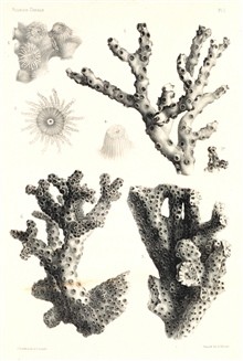 Figures 1-4, Oculina varicosa Leseuer.  Figure 5, Oculina implicata, Ag. ms.Figure 6, Oculina arbuscula, Ag. ms.In:  Report on the Florida Reefs, 1880, by Louis Agassiz.  Memoirs of theMuseum of Comparative Zoology at Harvard College, Vol. VII, No. 1