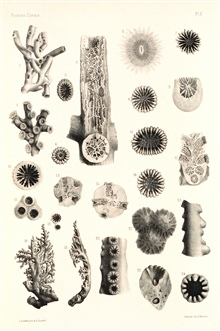 Figures 1-7, Cladocora arbuscula Milne-Edw. and Haime.  Figures 8 and 9, Oculina varicosa Leseuer.  Figures 10-12, Oculinea diffusa Lamarck.  Figures 14-17,Oculina pallens, Ehr.  Figures 18-24, Stylaster sanguineus Val.Museum of Comparative Zoology a