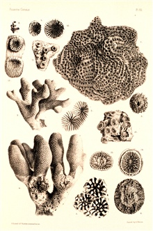 Figs.1 and 2, Agaricia agaricites Milne-Edw. and Haime.  Fig. 3,  cirrhipedcovered with coral. Figs. 4-6, Porites clavaria Lamarck. Fig. 7, Porites furcataLamarck.  Figures 9-12, Astrangia solitaria Verrill. Figs. 13-15, Colangiaimmersa Pourtales. In