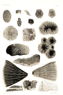 Figures 1-12, Siderastraea galaxea Blainv.  Figures 13-18, Fungia integra Dana.In:  Report on the Florida Reefs, 1880, by Louis Agassiz.  Memoirs of theMuseum of Comparative Zoology at Harvard College, Vol. VII, No. 1.  Plate XV.These plates help doc