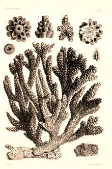 Figures 1-9, Madrepora prolifera Lamarck.In:  Report on the Florida Reefs, 1880, by Louis Agassiz.  Memoirs of theMuseum of Comparative Zoology at Harvard College, Vol. VII, No. 1.  Plate XIX.These plates help document the oldest studies of the Flori
