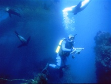 Marine archaeologist surrounded by sea lions while studying the wreckof the S.S. CUBA.