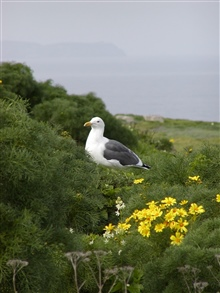 A Western Gull (Larus occidentalis) sits among the coreopsis on Anacapa Island.