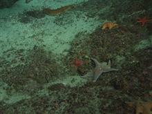 Leather star (Dermasterias imbricata) and bat stars at 30 meters depth.