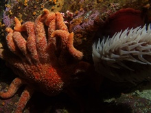 Sunflower sea star (Pycnopodia helianthoides) and fish eatingsea anemone up close at 30 meters depth.