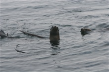 California Sea Lions (Zalophus californianus) swimming  on surfacearound bull kelp raft.