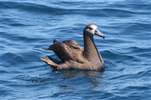 Black-footed Albatross (Phoebastria nigripes) sitting on the water