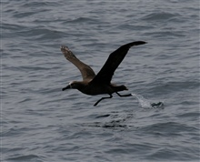 Black-footed albatross lifting off from water