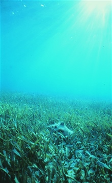Healthy seagrass with a conch