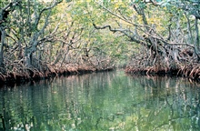 Mangrove swamps provide habitat for many creatures as well as protectthe coast from storm surge.