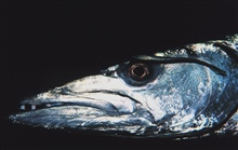 An ugly customer!  The head of a barracuda