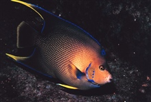 A Townsend Angelfish
