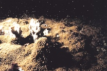 Star Coral spawning sequence