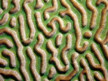 This close-up image of symmetrical brain coral (Diploria strigosa) shows thegrooved surface of the coral which os one of its most defining features.