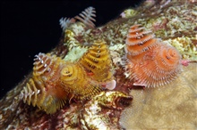 Christmas tree worms (Spirobranchus giganteus) at East Flower Garden Bank.Each pair of of colorful tree-like appendages are the gills of one animal.  Itsbody, up to a foot long, resides in a tube encased within the coral boulder.