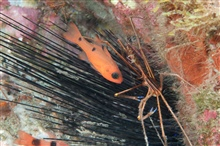 Twospot cardinalfish and an arrow crab.