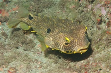 A balloonfish rests near the bottom of the reef.
