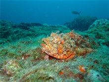 A spotted scorpionfish on the reef.