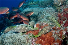 Schools of rockhind and creolefish rest along the reef.