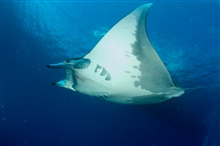 A sicklefin devil ray.