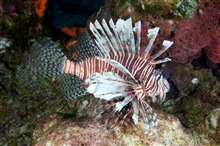 An invasive lionfish in West Flower Garden Bank.