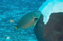 A stoplight parrotfish grazing on mountainous star coral (Orbicella faveolata)on East Flower Garden Bank.