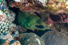 A green moray extending its head from a recess in the coral reef.