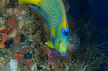 A queen angelfish displaying its crown amongs coral.