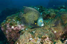 French angelfish and gobies