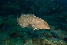 Tiger grouper swimming close to the reef.