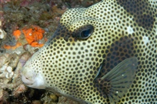 A spotted trunkfish.