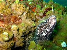A spotted moray eel peers out from its hole in the coral.