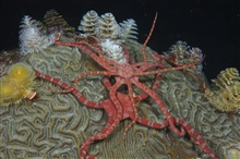 Ruby brittle stars (Ophioderma rubicund) and Christmas tree worms(Spirobranchus giantess) on top of coral at night.