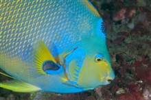 Side view of a queen angelfish.