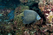 A french angelfish swimming by  coral.