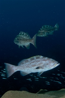 Yellowmouth grouper swimming over coral.