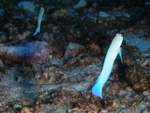 Two yellowhead jawfish over rubble.