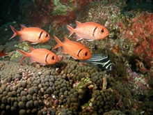 A school of blackbar soldierfish pass by a spotted drum.