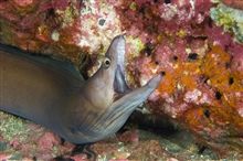 A purplemouth moray with mouth open along coral.