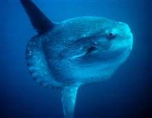 An ocean sunfish or mola mola